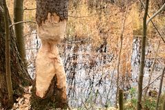 Thinged, bited tree by the beaver. Stock Images
