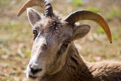 Thinhorn/Dall/las ovejas de la piedra fotos de archivo