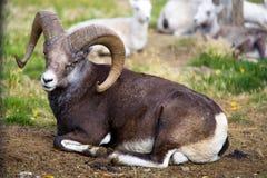Thinhorn/Dall/moutons de la pierre Images stock