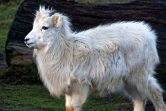 The thinhorn sheep. Ovis dalli is a species of sheep native to northwestern North America stock images