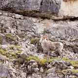 Thinhorn Sheep ram Ovis dalli stonei climbing rock wall Stock Image
