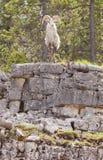 Thinhorn Sheep ram Ovis dalli stonei Stock Photography