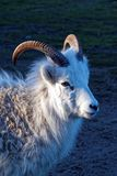 The thinhorn sheep. Ovis dalli is a species of sheep native to northwestern North America royalty free stock images