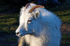 The thinhorn sheep. Ovis dalli is a species of sheep native to northwestern North America royalty free stock image