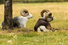 Thinhorn sheep (Ovis dalli) in Yukon Royalty Free Stock Photo