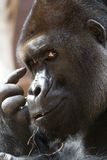 Think (gorilla) Royalty Free Stock Photos