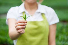 Think green!. Cropped image of woman in apron stretching out green leafs in hand stock images