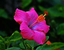 Think of pink flower and its pink hibiscus