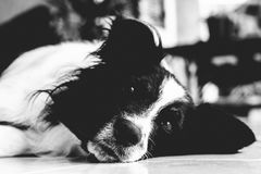 Thinkative border collie images stock