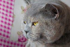 Thinkative pedigree cat Stock Photography