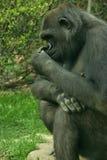 Thinker. Bronx zoo Royalty Free Stock Image