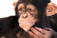 The Thinker. Closeup of a Chimpanzee scratching his chin and thinking Royalty Free Stock Image