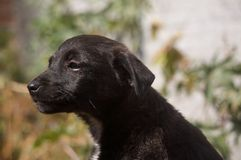 Thinker Dog. A Black Dog who is watching something Royalty Free Stock Images