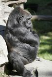 Thinker Full. A full profile of a gorilla with crossed arms Royalty Free Stock Photo