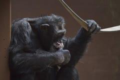 gorilla thinking Stock Photos