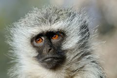 The Thinker. This Vervet Monkey looks to be deep in thought about life Stock Images