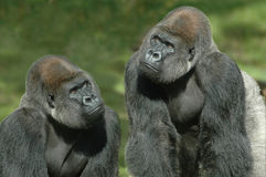 Thinkers. Couple of gorillas thinking of something Royalty Free Stock Photos
