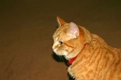 Thinking. Orange cat with red collar sits, thinking Royalty Free Stock Photo