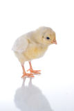 Thinking. Photo of cute baby chick, with reflection, over white background. concept: thinking Stock Photos