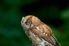 Thinking. Screech Owl stock image