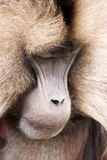 Thinking Baboon Royalty Free Stock Photo