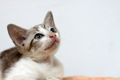 KITTEN LOOKING UP. THE CAT LOOKING UP THINKING OF SOMETHING Stock Images