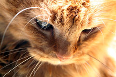 thinking cat  in golden light Royalty Free Stock Photo