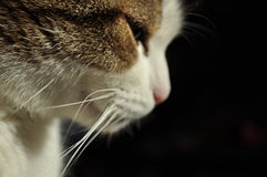Thinking cat looking to the right Royalty Free Stock Photo