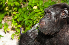 Thinking Chimpanzee. Chimpanzee in the plublish Songkhla zoo locate at south of Thailand Stock Images