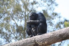 Thinking chimpanzee Stock Photo