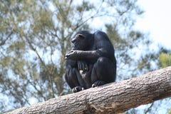 Thinking chimpanzee. Sitting on a tree branch stock photo