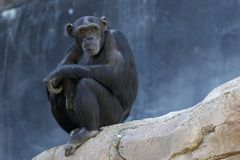 Thinking Chimpanzee. Alone adult chimp sitting on a cliff and thinking Stock Images