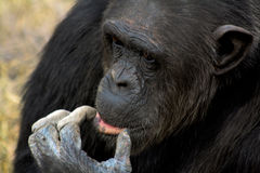 Thinking chimpanzee royalty free stock image