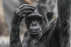Thinking chimpanzee portrait close up Royalty Free Stock Photography