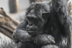 Thinking chimpanzee portrait close up Stock Image