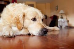 Thinking dog. Meditating sympathetic portrait of dog royalty free stock photos