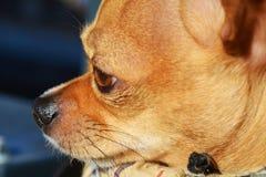 Thinking dog, close-up Stock Photography