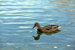 Thinking duck swimming in blue water stock image