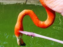 Thinking Flamingo. Flamingo touching it's head while standing in a pond Royalty Free Stock Photos