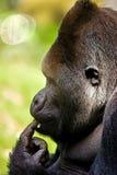 Thinking Gorilla. Silverback gorilla is thinking of something Stock Photo