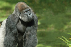 Thinking Gorilla. Silverback gorilla in natural green background Royalty Free Stock Photography