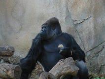 Thinking Gorilla Royalty Free Stock Photography