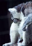 The Thinking Lemur. A ringtail lemur rests his head on his fist in the Hong Kong zoo Stock Image
