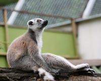 Thinking lemur. Thinking lemur on colorful background royalty free stock photo
