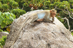 Thinking lonely bonnet Macaque Royalty Free Stock Photos