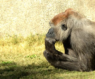 A thinking mans Gorilla. Nice Image Of a Thinking Silverback gorilla Stock Images