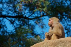 Thinking moneky Stock Images
