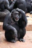 Thinking Monkey Royalty Free Stock Images