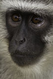 Thinking Monkey Royalty Free Stock Photography