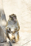 Thinking monkey royalty free stock image
